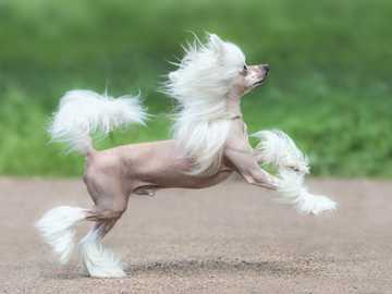CHINESE HEATER - Skills Originally, Chinese crested dogs were primarily companion dogs. They were used as live hot wa