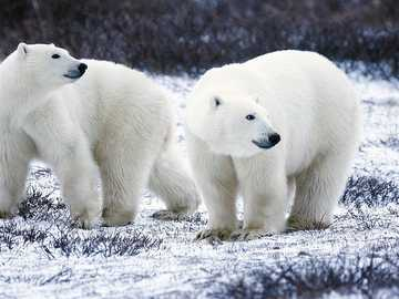 Polar Bears Walking - This image shows 2 polar bears walking in their natural habitat