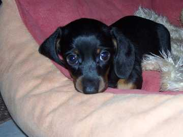 Sausage Dog - Sweet little black-haired dachshunds :)