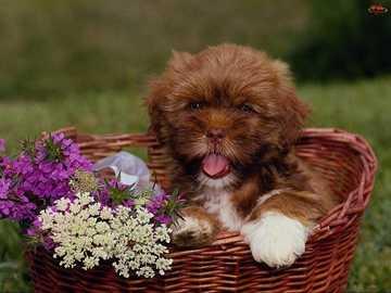 A brown dog in a basket - A brown dog in a basket