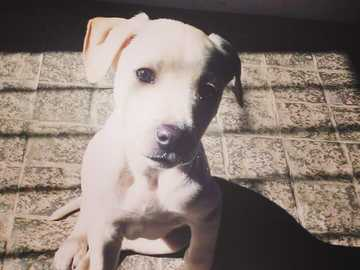 Bowie the destroyer - This is my bowie dog when you are a baby