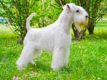 MINIATURE Schnauzer - Skills Historically, these small, rough-haired dogs were used to exterminate rodents in stables and