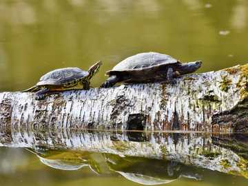 Turtles on a walk - Turtles on a log of trees on the river
