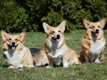 WELSH CORGI PEMBROKE - Skills Formerly, corgi were herding cattle and sheep - they ran around the herd, barked and caught d