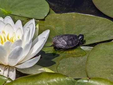 lotus flower - a lotus flower in the company of a turtle