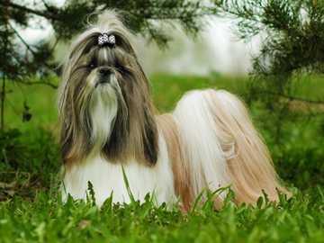 SHIH TZU - Abilità Sin dall'inizio, lo shih tzu era un cane da compagnia decorativo, e oggi ricoprono anc