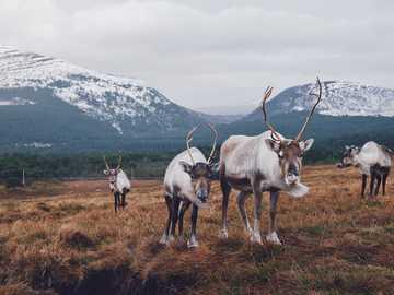 troupeau d'animaux bruns et noirs sur le champ d'herbe brune - Faites un voyage au Cairngorm Reindeer Centre à Aviemore, en Écosse, et découvrez le seul troupea