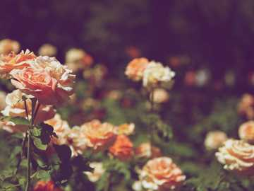 orange petaled flower field - This photo really wasn't supposed to be this pretty. I was walking through a park and these roses