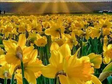 Narcissus field. - Puzzle field of daffodils.
