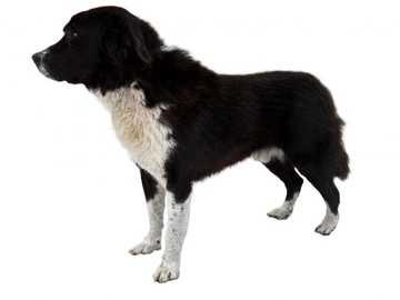 PASTOR GRIEGO - La naturaleza del pastor griego es tranquila, segura y equilibrada. Sin embargo, este perro orgullos