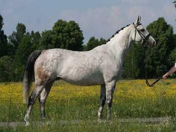 Koń małopolski - Eleganckie, a jednocześnie wytrzymałe konie o wydajnych chodach.