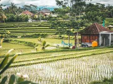 pole ryżowe - tarasowe pola ryżowe w Azji