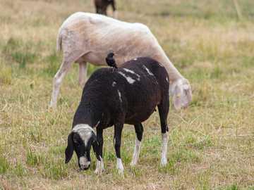 Schafe mit einem Vogel - weiße und schwarze Schafe auf grünem Gras während des Tages. Deutschland