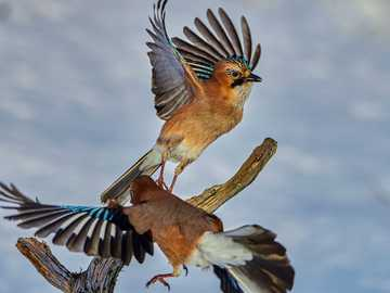 Changing of the Guard - brown and blue bird on brown tree branch. Flatanger, Norway
