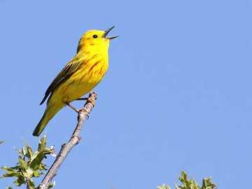 Curruca Dorada - Ocurrencia y medio ambiente Esta ave habita en casi toda América del Norte y parte de América del