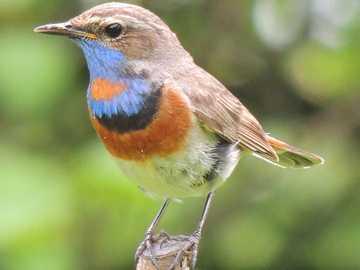 Podróżniczek - Tryb życia i zachowanie Podróżniczek to ptak wędrowny. Nasze osobniki zimują w Afryce. Ptak ten