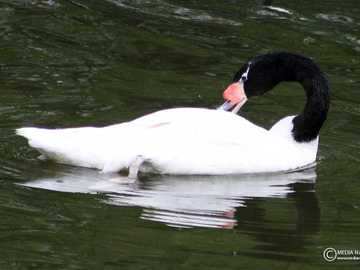 Black-necked swan - Occurrence and environment Patagonia, Tierra del Fuego in South America. Inhabit river backwaters, l