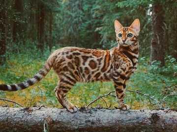Kot bardzo bengalski - kot bengalski jak z belgi