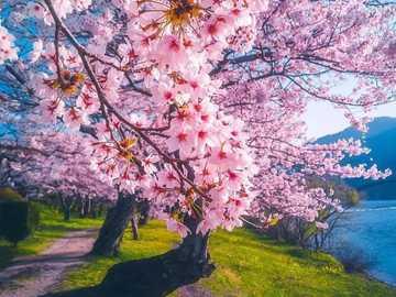 Cuma Cevik Japan - Und es blüht so schön