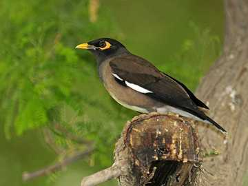 Maya brown - Lifestyle and behavior. Lead a sedentary lifestyle. It's a very noisy bird.