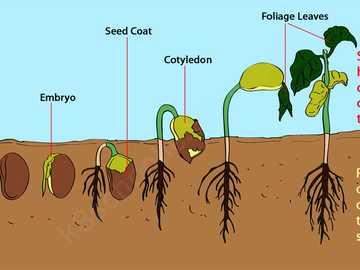 Kiełkowanie - Kiełkowanie nasion