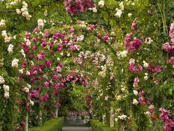 A tunnel of roses. - Puzzle: a tunnel of roses.