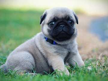 sweet pug - :) :) :) sweet :) :) :) !!!!!!!!!!