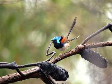 Red-winged Chowka - Occurrence and environment. It is a bird living in Australia.