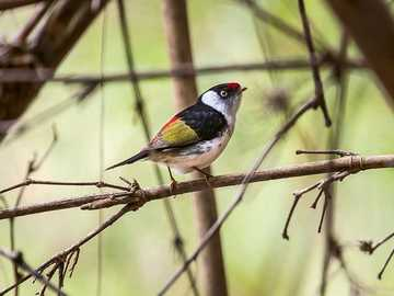 Decorative manakin - Occurrence and environment. This species is found in South America.