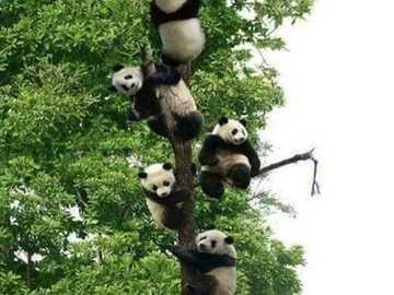 pandy na drzewie - wiele pand na drzewie