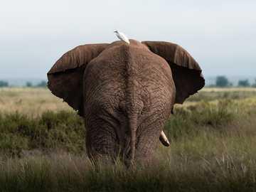 brązowy słoń na zielonej trawie w ciągu dnia - Ptak jedzie na swoim przyjacielu słoniu w Parku Narodowym Amboseli w Kenii. Park Narodowy Amboseli,