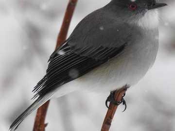 Diucón, versione più semplice - È un uccello molto fiducioso e calmo. Solitario, in autunno i giovani formano piccoli gruppi. Si ap