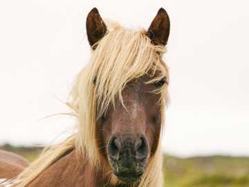brown horse closeup photo - This horse lived beside my AirBnb in Iceland. I thought he was so beautiful so on my last day there,
