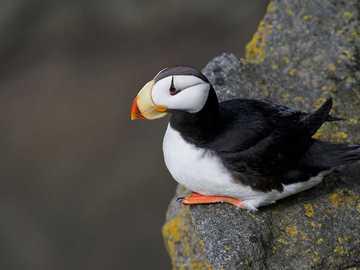 Maskonur pacyficzny - Występowanie i środowisko Gatunek ten występuje na morzach i oceanach w strefie umiarkowanej od w