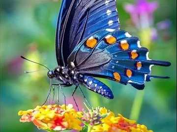 Blue butterfly. - Jigsaw puzzle. Animals. Insect.