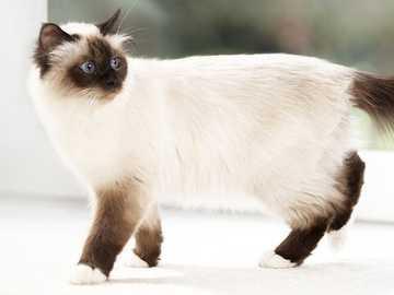 Siamese cat for small children - Siamese baby cat 12 pieces