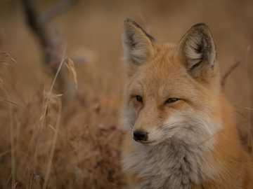 Fox by a field - orange fox on grass field. Silverthorne, United States