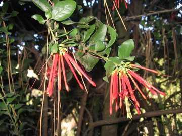 Quintral (facile) - QUINTRAL (Tristerix corymbosus) Abita catene montuose boscose da Neuquén a Chubut e principalmente