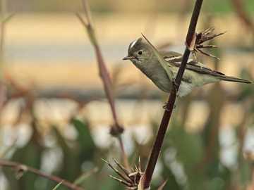 Fiofío en caña colihue - Fiofío silbón (Elaenia albiceps) Pajarito de unos 13cm, con semicopete blanco, salvo en los juveni