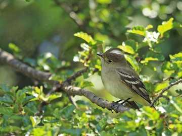 Fiofío el lenga - Gwizdek Fiofío (Elaenia albiceps) Mały ptaszek około 13 cm, z białym pół-cappet, z wyjątkiem