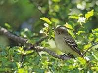 Fiofío el lenga - Sifflet Fiofío (Elaenia albiceps) Petit oiseau d'environ 13 cm, à demi-cépage blanc, sauf ch