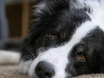 Border collie - one of the smartest dogs