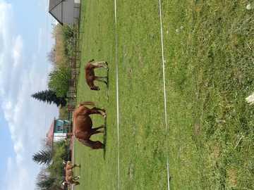 tre cavalli della zona - TRANQUILLO assemblando il puzzle