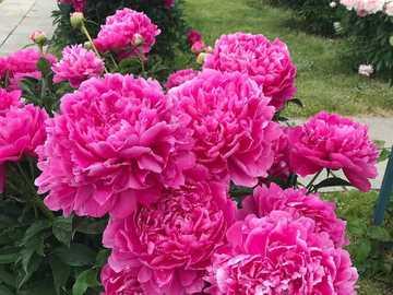 Różowe piwonie. - Układanka: różowe piwonie.