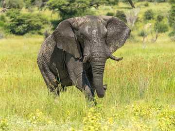 Elephant, Botswana - słoń na zielonej trawie w ciągu dnia.