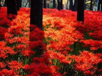 Red carpet of flowers in Japan - In Japan, it blooms red: namely in fields full of red spider lilies, also known as Manjushage or Lyc