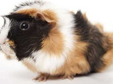 Guinea pig - Guinea pig (I like them very much)