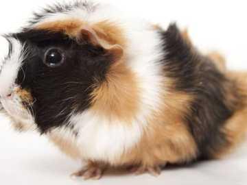 porcellino d'India - Guinea pig (mi piacciono molto)