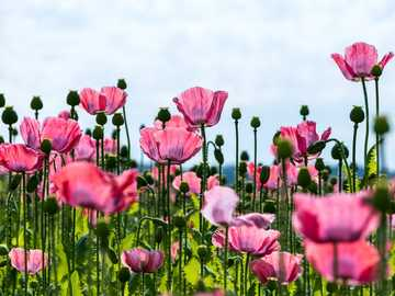 Awesome poppies - Poppies are wild flowers that grow in the fields