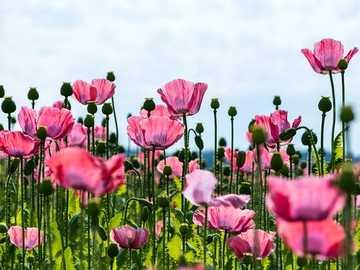 Maki na polu - Maki to dzikie kwiaty